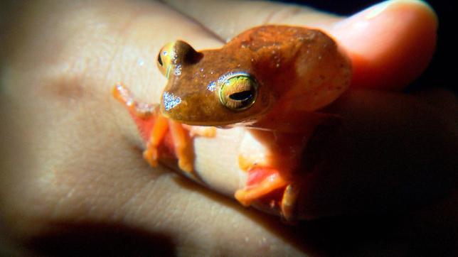 Der Flugfrosch ist ein besonders schöner tropischer Frosch. Er lebt in Bäumen und hat Schwimmhäute, mit denen er von Ast zu Ast gleiten kann.