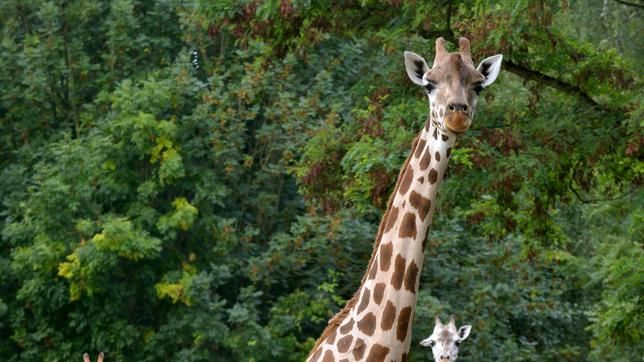 Die Giraffen im Tierpark Berlin.