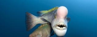 Bei Schafskopf-Lippfischen lassen sich Männchen und Weibchen sehr durch die Größe unterscheiden. Sind die Weibchen groß und alt genug, können sie eine beachtliche Verwandlung durchmachen: sie werden vom Weibchen zum Männchen.