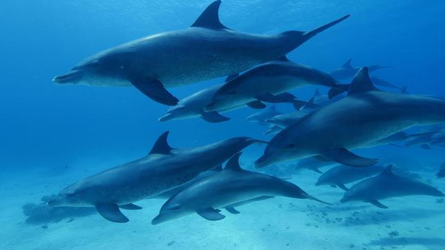 Große Tümmler, die im Roten Meer leben, benutzen die Schleimschicht von Hornkorallen, um ihre Haut zu schützen.