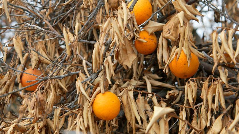 Letzte Chance für unser Klima: Vertrocknete Orangenbäume