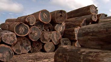Aufgeschichtete Stausee-Baumstämme