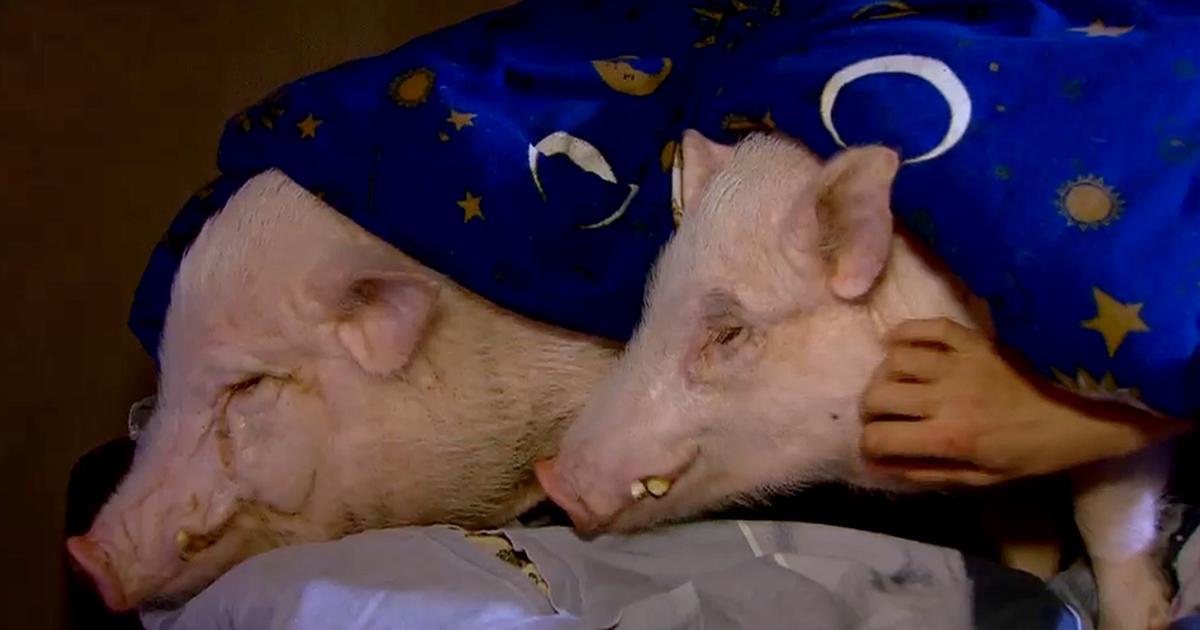 Das Schwein Im Bett W Wie Wissen Ard Das Erste