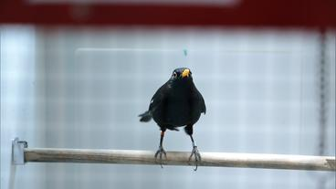 Amsel in Voliere