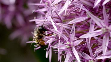 Wildbiene fliegt Allium-Pflanze an