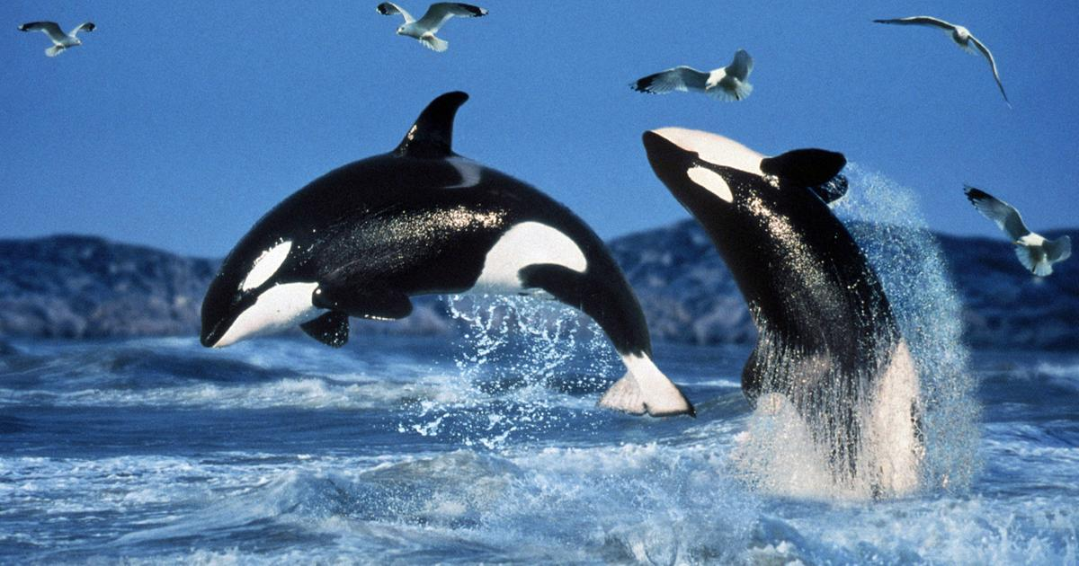 Orcas 100 Free Willy