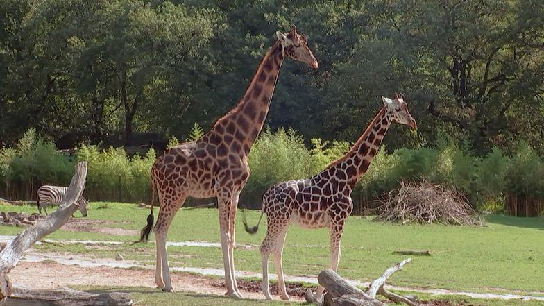 Giraffe Gregor - Giraffe, Erdmännchen & Co. - ARD | Das Erste