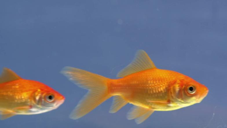 Video warum sollten goldfische wer wei denn sowas for Goldfische winter teich