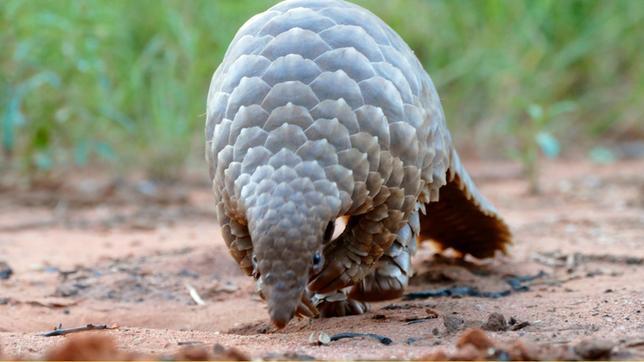 Das Schuppentier – auch Pangolin genannt – ist von Kopf bis Schwanz mit Schuppen bedeckt. Es gehört zur Familie der Tannenzapfentiere.