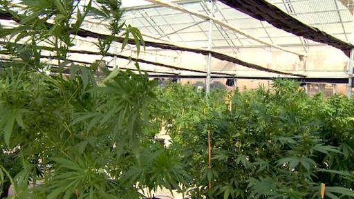 Ein Treibhaus mit Cannabispflanzen