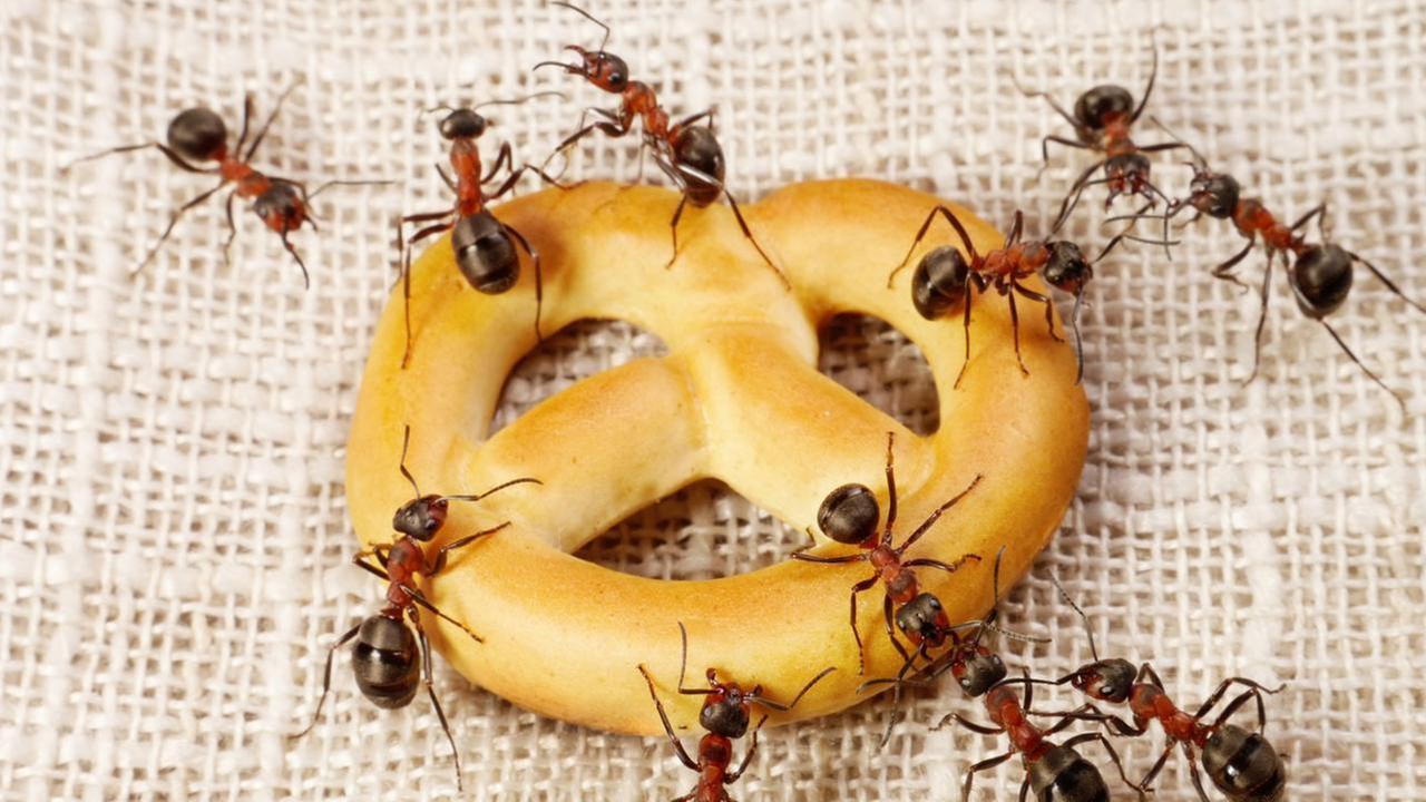 Fruchtfliegen und Ameisen in der Küche  ARD-Buffet