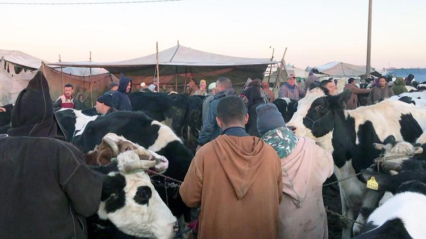 Viehmarkt in Marokko.