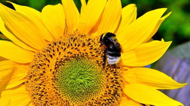 hummeln bienen im pelz erlebnis erde ard das erste. Black Bedroom Furniture Sets. Home Design Ideas