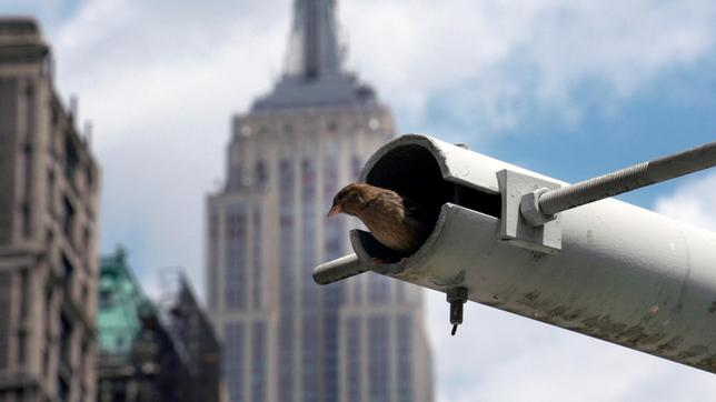 Spatzenweibchen im Nest vor Empire State Building in New York.