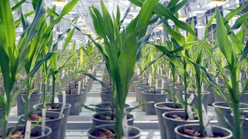 Pflanzen Aus Dem Crispr Labor W Wie Wissen Ard Das Erste