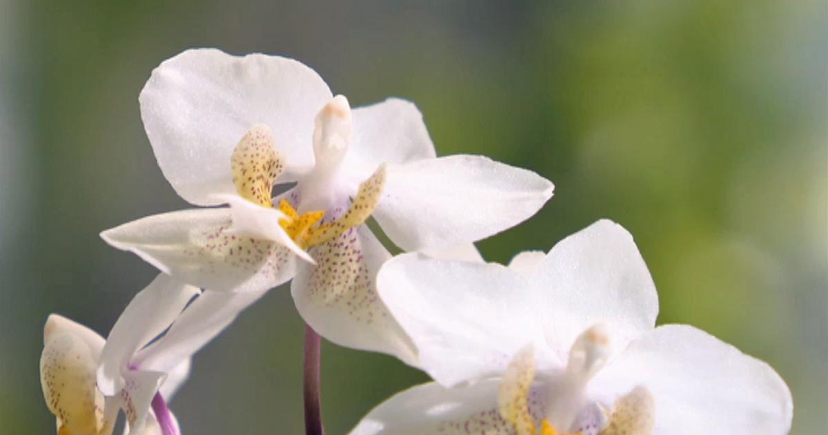 wilde orchideen brandenburg