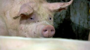Was Kostet Ein Schwein W Wie Wissen Ard Das Erste