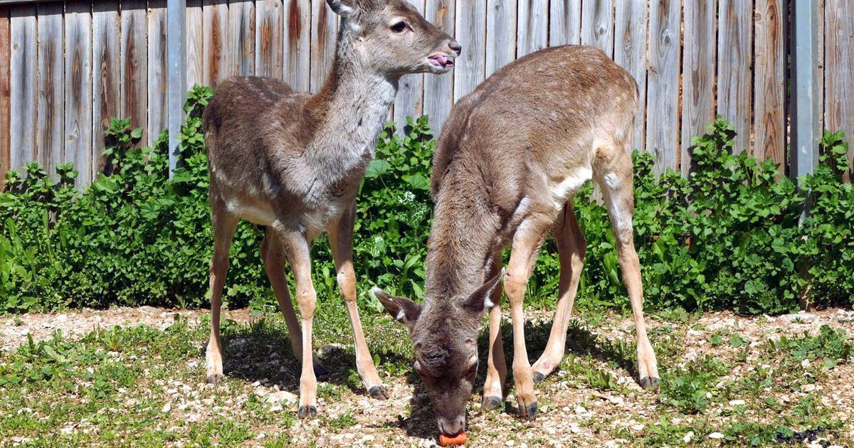 Zwei Hirsche für Israel - Giraffe, Erdmännchen & Co. - ARD ...